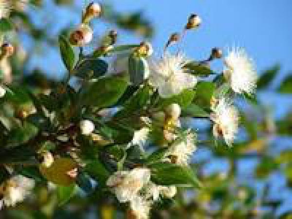 MURTA 1metro,floricultura eco flora, floricultura bh,  flora em bh, orquídeas bh, plantas em bh, paisagismo em bh, decoraçao em bh, vasos decorativos em bh, árvore em bh