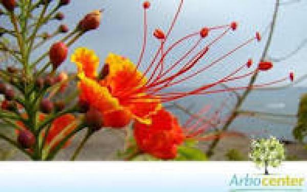 FLAMBOYANT MIRIM 1metro,floricultura eco flora, floricultura bh,  flora em bh, orquídeas bh, plantas em bh, paisagismo em bh, decoraçao em bh, vasos decorativos em bh, arvores em bh
