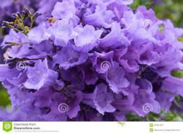 IPÊ ROXO 1metro,floricultura eco flora, floricultura bh,  flora em bh, orquídeas bh, plantas em bh, paisagismo em bh, decoraçao em bh, vasos decorativos em bh, arvores em bh