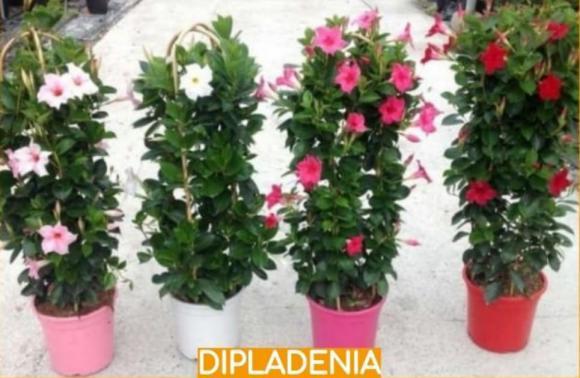 floricultura eco flora, floricultura bh,  flora em bh, orquídeas bh, plantas em bh, paisagismo em bh, decoraçao em bh, vasos decorativos em bh, calandiva em bh, begônia em bh, dipladenia em bh, floricultura eco flora, floricultura bh,  flora em bh, orquideas bh, plantas em bh, paisagismo em bh, substrato em bh, vaso resina bh,vasos decorativos em bh, ECO FLORA FLORICULTURA E JARDINAGEM LTDA