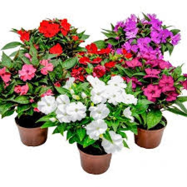 floricultura eco flora, floricultura bh,  flora em bh, orquídeas bh, plantas em bh, paisagismo em bh, decoraçao em bh, vasos decorativos em bh, beijo sumpatiens, floricultura eco flora, floricultura bh,  flora em bh, orquideas bh, plantas em bh, paisagismo em bh, substrato em bh, vaso resina bh,vasos decorativos em bh, ECO FLORA FLORICULTURA E JARDINAGEM LTDA