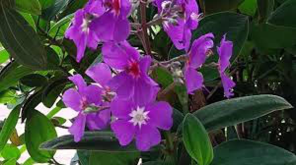 QUARESMEIRA 1metro,floricultura eco flora, floricultura bh,  flora em bh, orquídeas bh, plantas em bh, paisagismo em bh, decoraçao em bh, vasos decorativos em bh, arvores em bh