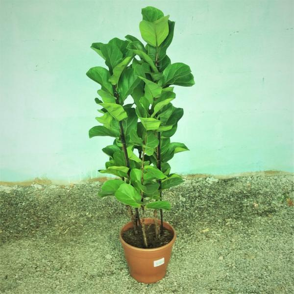 floricultura eco flora, floricultura bh,  flora em bh, orquídeas bh, plantas em bh, paisagismo em bh, decoraçao em bh, vasos decorativos em bh, ficus liriata em bh, floricultura eco flora, floricultura bh,  flora em bh, orquideas bh, plantas em bh, paisagismo em bh, substrato em bh, vaso resina bh,vasos decorativos em bh, ECO FLORA FLORICULTURA E JARDINAGEM LTDA