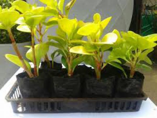 floricultura eco flora, floricultura bh,  flora em bh, orquídeas bh, plantas em bh, paisagismo em bh, decoraçao em bh, vasos decorativos em bh, calandiva em bh, begônia em bh, jade azul em bh