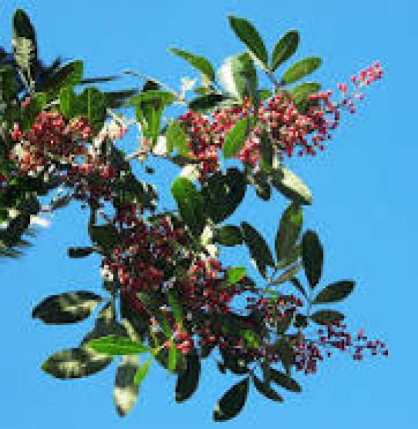 AROEIRA SALSA 1 metro,floricultura eco flora, floricultura bh,  flora em bh, orquídeas bh, plantas em bh, paisagismo em bh, decoraçao em bh, vasos decorativos bh, árvore em bh, aroeira em bh