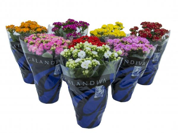 floricultura eco flora, floricultura bh,  flora em bh, orquídeas bh, plantas em bh, paisagismo em bh, decoraçao em bh, vasos decorativos em bh, ferramenta bh, floricultura eco flora, floricultura bh,  flora em bh, orquideas bh, plantas em bh, paisagismo em bh, substrato em bh, vaso resina bh,vasos decorativos em bh, ECO FLORA FLORICULTURA E JARDINAGEM LTDA