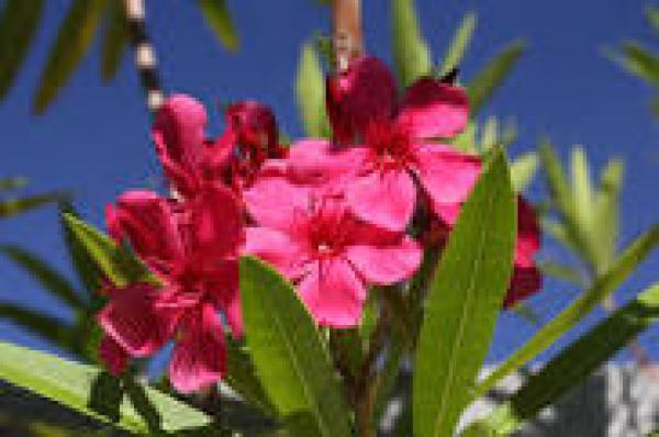 ESPIRRADEIRA 1 metro,floricultura eco flora, floricultura bh,  flora em bh, orquídeas bh, plantas em bh, paisagismo em bh, decoraçao em bh, vasos decorativos em bh, arvores em bh