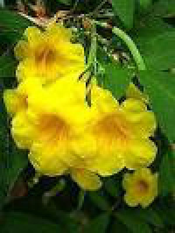 IPÊ MIRIM 1metro,floricultura eco flora, floricultura bh,  flora em bh, orquídeas bh, plantas em bh, paisagismo em bh, decoraçao em bh, vasos decorativos em bh, arvores em bh