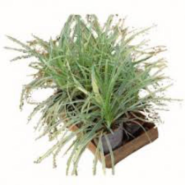 LIRIOPES sol pleno,floricultura eco flora, floricultura bh,  flora em bh, orquídeas bh, plantas em bh, paisagismo em bh, decoraçao em bh, vasos decorativos em bh, singônio em bh, jardim vertical, plantas sol, onze horas, liriopes em bh