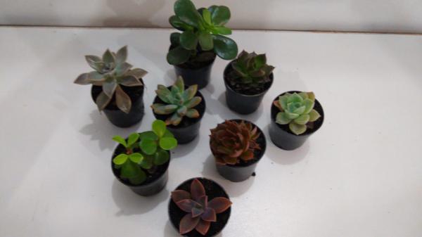floricultura eco flora, floricultura bh,  flora em bh, orquídeas bh, plantas em bh, paisagismo em bh, decoraçao em bh, vasos decorativos em bh, calandiva em bh, presente em bh, planta pendente em bh, plantas de sol pleno, floricultura eco flora, floricultura bh,  flora em bh, orquideas bh, plantas em bh, paisagismo em bh, substrato em bh, vaso resina bh,vasos decorativos em bh, ECO FLORA FLORICULTURA E JARDINAGEM LTDA
