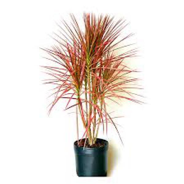 DRACENA TRICOLOR1 metro,floricultura eco flora, floricultura bh,  flora em bh, orquídeas bh, plantas em bh, paisagismo em bh, decoraçao em bh, vasos decorativos em bh, calandiva em bh, presente em bh, planta pendente em bh, planta de varanda em bh