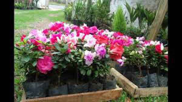 floricultura eco flora, floricultura bh,  flora em bh, orquídeas bh, plantas em bh, paisagismo em bh, decoraçao em bh, vasos decorativos em bh, azaléia mini em bh, floricultura eco flora, floricultura bh,  flora em bh, orquideas bh, plantas em bh, paisagismo em bh, substrato em bh, vaso resina bh,vasos decorativos em bh, ECO FLORA FLORICULTURA E JARDINAGEM LTDA