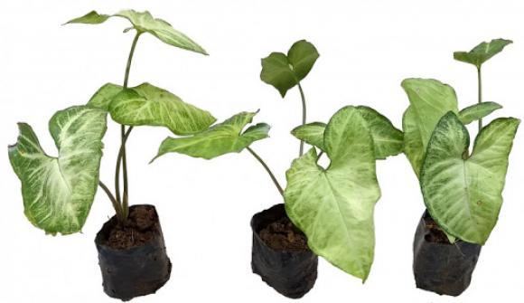 SINGÔNIO - sol pleno,floricultura eco flora, floricultura bh,  flora em bh, orquídeas bh, plantas em bh, paisagismo em bh, decoraçao em bh, vasos decorativos em bh, singônio em bh, jardim vertical, plantas sol
