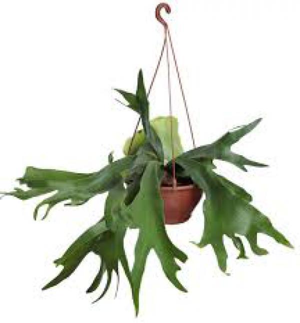 CHIFRE DE VEADO,floricultura eco flora, floricultura bh,  flora em bh, orquídeas bh, plantas em bh, paisagismo em bh, decoraçao em bh, vasos decorativos em bh, arvores em bh, planta pendente em bh
