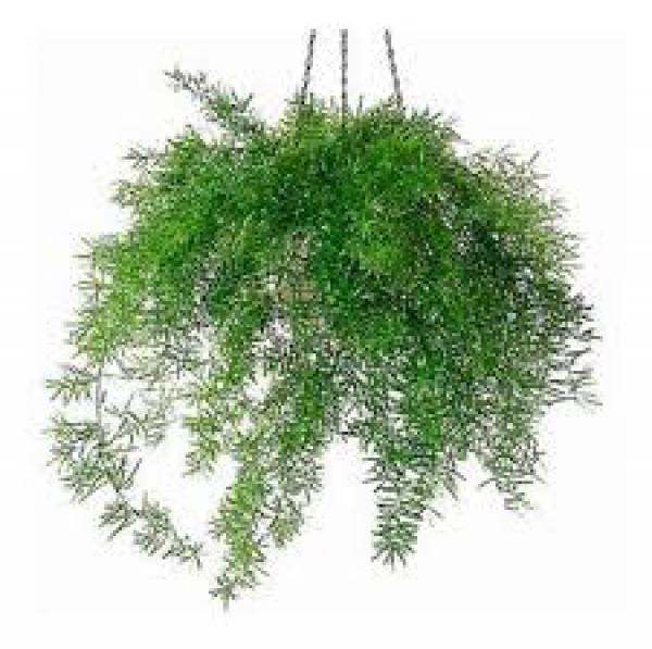 ASPARGO ALFINETE - sombra,floricultura eco flora, floricultura bh,  flora em bh, orquideas bh, plantas em bh, paisagismo em bh, substrato em bh, vaso resina bh,vasos decorativos em bh