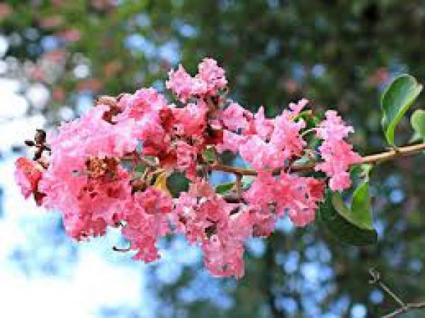 ESCUMILHA AFRICANA 1metro,floricultura eco flora, floricultura bh,  flora em bh, orquideas bh, plantas em bh, paisagismo em bh, substrato em bh, vaso resina bh,vasos decorativos em bh