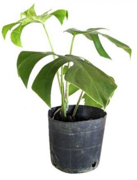 floricultura eco flora, floricultura bh,  flora em bh, orquídeas bh, plantas em bh, paisagismo em bh, decoraçao em bh, vasos decorativos em bh, calandiva em bh, presente em bh, planta pendente em bh, planta de varanda em bh, árvore de fruta em bh costela , floricultura eco flora, floricultura bh,  flora em bh, orquideas bh, plantas em bh, paisagismo em bh, substrato em bh, vaso resina bh,vasos decorativos em bh, ECO FLORA FLORICULTURA E JARDINAGEM LTDA