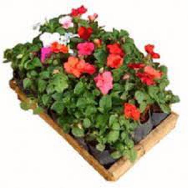 floricultura eco flora, floricultura bh,  flora em bh, orquídeas bh, plantas em bh, paisagismo em bh, decoraçao em bh, vasos decorativos em bh, beijo americano em bh, floricultura eco flora, floricultura bh,  flora em bh, orquideas bh, plantas em bh, paisagismo em bh, substrato em bh, vaso resina bh,vasos decorativos em bh, ECO FLORA FLORICULTURA E JARDINAGEM LTDA