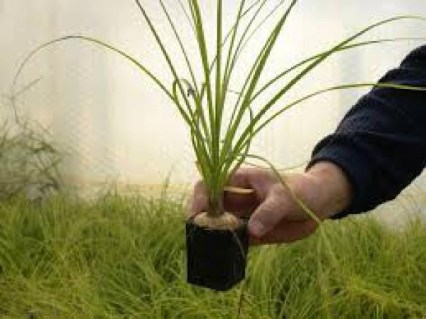PATA DE ELEFANTE muda,floricultura eco flora, floricultura bh,  flora em bh, orquídeas bh, plantas em bh, paisagismo em bh, decoraçao em bh, vasos decorativos em bh, calandiva em bh, presente em bh, planta pendente em bh, planta de varanda em bh