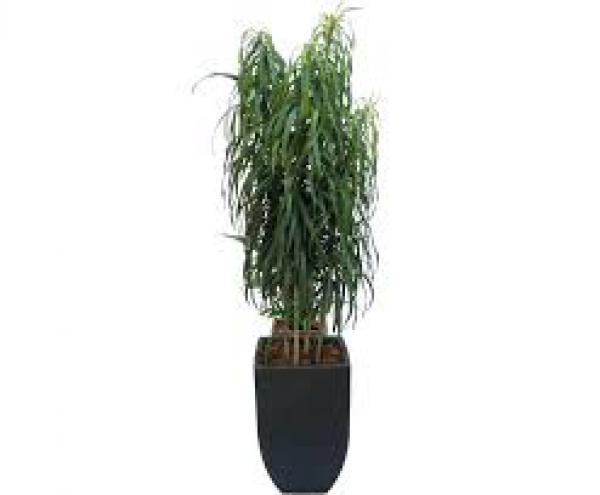 DRACENA FITA,floricultura eco flora, floricultura bh,  flora em bh, orquídeas bh, plantas em bh, paisagismo em bh, decoraçao em bh, vasos decorativos em bh, dracena em bh