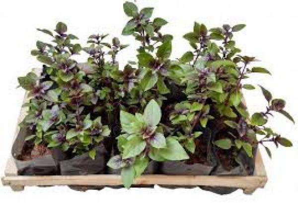floricultura eco flora, floricultura bh,  flora em bh, orquídeas bh, plantas em bh, paisagismo em bh, decoraçao em bh, vasos decorativos em bh, manjericão roxo ,