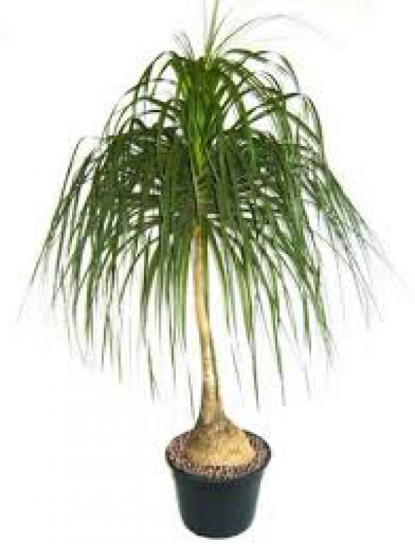 PATA DE ELEFANTE 80 centímetros,floricultura eco flora, floricultura bh,  flora em bh, orquídeas bh, plantas em bh, paisagismo em bh, decoraçao em bh, vasos decorativos em bh girassol em bh, buquês, plantas de varanda em bh