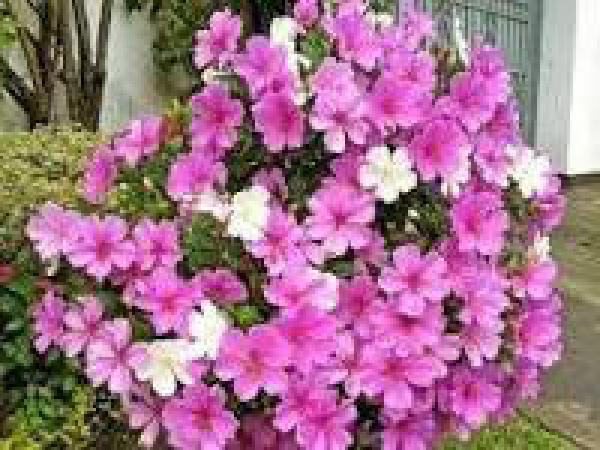 MANACÁ DA SERRA 1metro,floricultura eco flora, floricultura bh,  flora em bh, orquídeas bh, plantas em bh, paisagismo em bh, decoraçao em bh, vasos decorativos em bh, arvore em bh