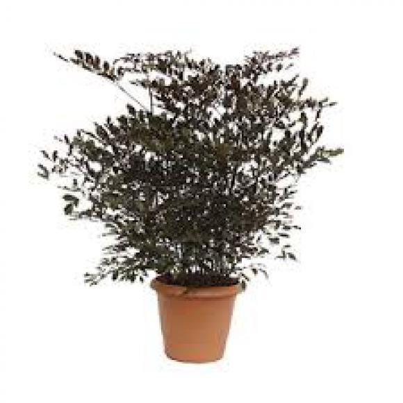 LEIA RÚBRA 60 centímetros,floricultura eco flora, floricultura bh,  flora em bh, orquídeas bh, plantas em bh, paisagismo em bh, decoraçao em bh, vasos decorativos em bh, calandiva em bh, presente em bh, planta pendente em bh, planta de varanda em bh