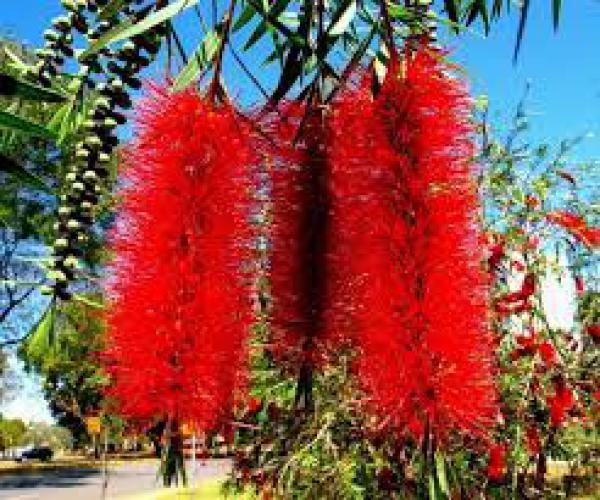 CALISTEMO 1 metro,floricultura eco flora, floricultura bh,  flora em bh, orquideas bh, plantas em bh, paisagismo em bh, substrato em bh, vaso resina bh,vasos decorativos em bh
