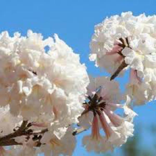 IPÊ BRANCO 1metro,floricultura eco flora, floricultura bh,  flora em bh, orquídeas bh, plantas em bh, paisagismo em bh, decoraçao em bh, vasos decorativos em bh, arvores em bh