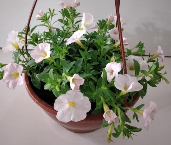 floricultura eco flora, floricultura bh,  flora em bh, orquídeas bh, plantas em bh, paisagismo em bh, decoraçao em bh, vasos decorativos em bh, calandiva em bh, presente em bh, planta pendente em bh, floricultura eco flora, floricultura bh,  flora em bh, orquideas bh, plantas em bh, paisagismo em bh, substrato em bh, vaso resina bh,vasos decorativos em bh, ECO FLORA FLORICULTURA E JARDINAGEM LTDA