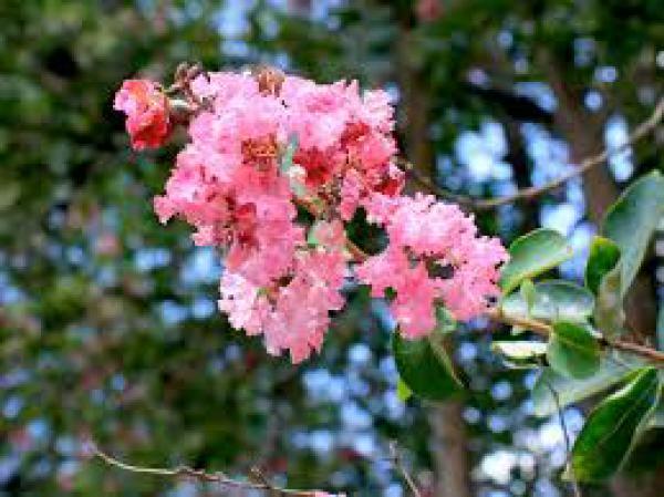 RESEDÁ 1metro,floricultura eco flora, floricultura bh,  flora em bh, orquídeas bh, plantas em bh, paisagismo em bh, decoraçao em bh, vasos decorativos em bh, arvores em bh