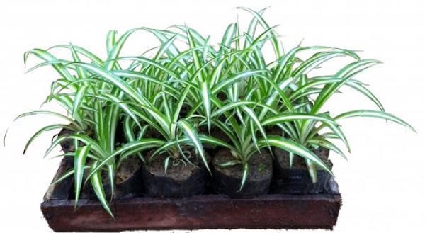 CLOROFITO  - sol pleno,floricultura eco flora, floricultura bh,  flora em bh, orquídeas bh, plantas em bh, paisagismo em bh, decoraçao em bh, vasos decorativos em bh, singônio em bh, jardim vertical, plantas sol, onze horas, clorofito em bh