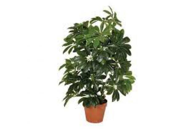 CHEFLERA 80 centímetros,floricultura eco flora, floricultura bh,  flora em bh, orquídeas bh, plantas em bh, paisagismo em bh, decoraçao em bh, vasos decorativos em bh, calandiva em bh, presente em bh, planta pendente em bh, planta de varanda em bh