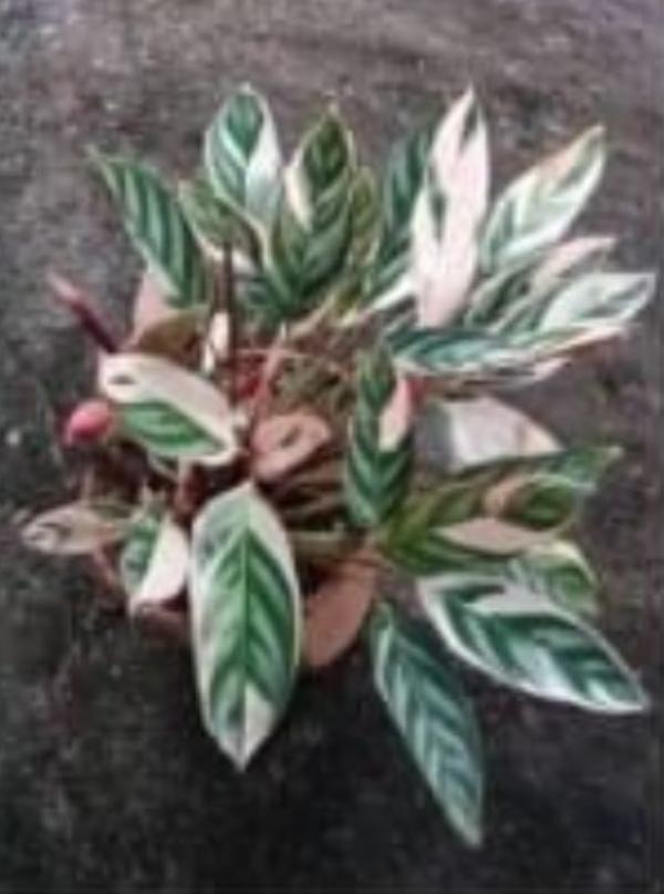floricultura eco flora, floricultura bh,  flora em bh, orquídeas bh, plantas em bh, paisagismo em bh, decoraçao em bh, vasos decorativos em bh, planta interior em bh, maranta em bh, floricultura eco flora, floricultura bh,  flora em bh, orquideas bh, plantas em bh, paisagismo em bh, substrato em bh, vaso resina bh,vasos decorativos em bh, ECO FLORA FLORICULTURA E JARDINAGEM LTDA
